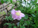 California Wild Rose photo by Picasa/Krista