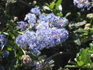 California Wild Lilac photo by Redwood Barn Nursery