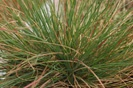 Red Fescue photo by Wild Ginger Farms