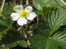 Woodland Strawberry photo by alpenflora.ch