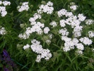 Yarrow photo by picasa/J & M Botanist