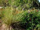 California Fescue photo by drystonegarden.com
