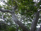 California Sycamore photo by picasa/David Diller