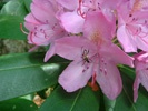 Coat Rhododendron photo by davesgarden.com