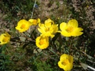Bush Poppy photo by xasuantoday.com