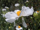 Matilija Poppy photo by flickr/sftrajan