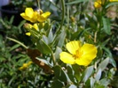 Island Bush Poppy photo by gardennatives.com