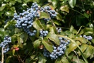 Oregon Grape photo by picasa/Ruth