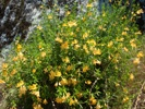 Monkey Flower photo by xasauantoday.com