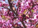 Western Redbud photo by Redwood Barn Nursery