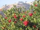 Toyon photo by thegoldengecko.com