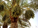 Date Palm photo by wahyuinqatar.wordpress.com