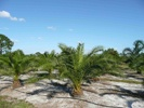 Canary Palm photo by Crawford Nursery