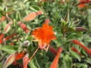 California Fuchsia