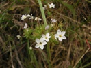 Small Flowered Linanthus