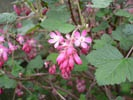 Flowering Currant photo by Urban Butterfly Garden