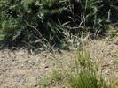 Foothill Needlegrass photo by timetotrack.com