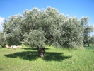 Olive Tree photo by ecotourismcypress.com
