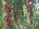 Pepper Tree photo by zoopy.com