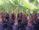 Mexican Fan Palm photo by maxpages.com