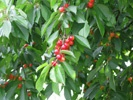 Catalina Cherry